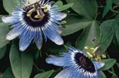 Passiflora Blue Bouquet (Boutique)