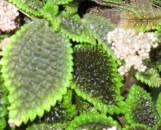 Pilea bertertonia [mollis; crassifolia]