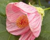 Abutilon hybridum Kristen's Pink
