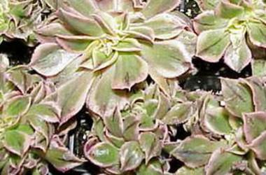 Aeonium Sunburst Variegated Crest