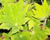 Begonia Golden Glow [hyb]