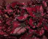 Begonia Venetian Red [hyb]