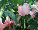Brugmansia insignis Frosty Pink