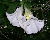 Brugmansia Insignis Single White