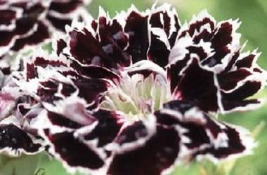 Dianthus heddewigii Black & White; White Minstrels