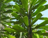 Elaeophorbia drupifera