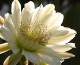 Epiphyllum Blush Bob