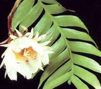 Epiphyllum Chrysocardium Glasshouse Works