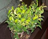 Ficus benjamina wiandi