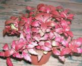 Fittonia verschaffeltii argyroneura Autumn Flame (Forest Flame)