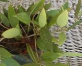 Hoya pallida [hort]