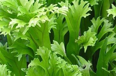 Microsorium punctatum grandiceps