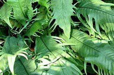 Microsorium punctatum serratum [laciniatum]