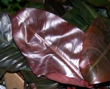 Philodendron Black Cardinal [hyb]