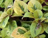 Plectranthus discolor Green & Gold