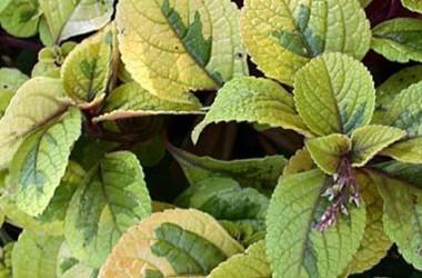 Plectranthus discolor Green & Gold