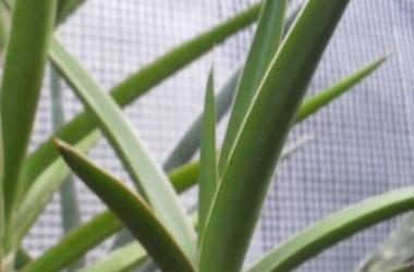 Sansevieria robusta x bagamoyensis