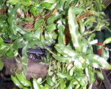 Scyphularia pentaphylla [davallia pentaphylla]