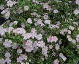 Serissa foetida Pink Mountain