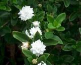 Serissa foetida flora plena