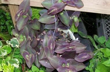 Setcreasea [Tradescantia] pallida Purple Fuzzy