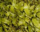 Spathiphyllum Golden Viscount [hyb]