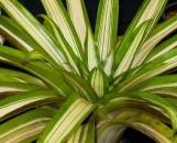 Tillandsia viridiflora [grandis] variegata