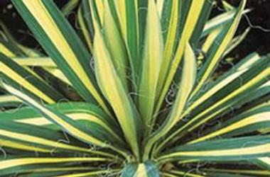 Yucca aloifolia mediopicta