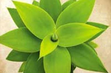 Agave attenuata variegata Raea's Gold
