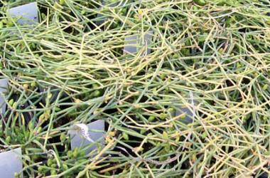 Ephedra regeliana