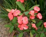 Euphorbia milii Egads! [hyb]
