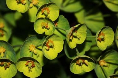 Euphorbia milii Green Meanie [hyb]