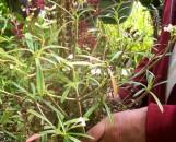 Euphorbia robivelonae [hort]