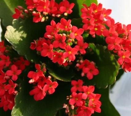 Kalanchoe Blossfeldiana Really Red Glasshouse Works