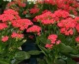 Kalanchoe blossfeldiana Really Red