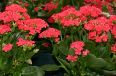 Kalanchoe blossfeldiana Really Red