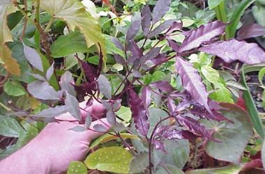 Leea coccinea rubra (Burgundy)
