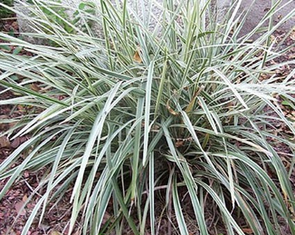 Ophiopogon japonicus aritaki glasshouse works for Short variegated grass