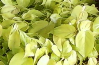 Philodendron scandens aureum
