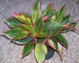 Aglaonema commutatum Red Edge