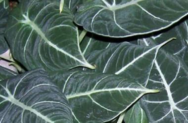 Alocasia (regulina) Black Velvet