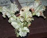 Begonia Hiro [hyb]