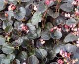 Begonia semperflorens Kaylen [hyb]