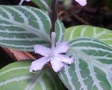 Chamaeranthemum venosum