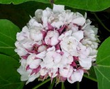 Clerodendrum fragrans pleniflorum