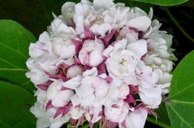 Clerodendrum fragrans pleniflorum