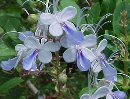 Tiffany Blue Color Code >> Clerodendrum ugandense - Glasshouse Works