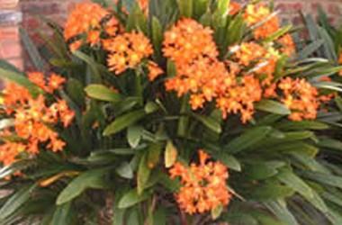 Clivia miniata grandiflora