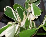 Clusia rosea nana variegata
