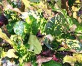 Codiaeum variegatum Magnificent